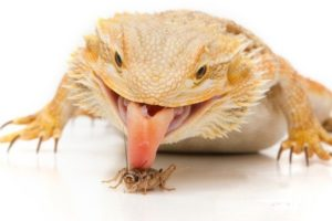 Bearded-Dragon-Eating-Cricket-600x450-1-v1-600x400