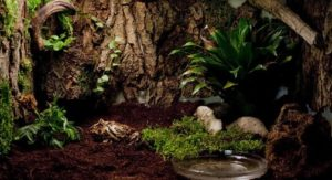 Ceratophrys cranwelli- terrario