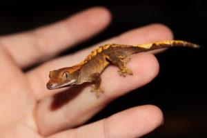 Gecko crestado-cría