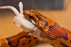 Serpiente del maíz- Comiendo3