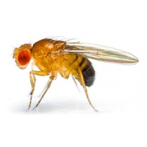 MOSCA DE LA FRUTA (Drosophila sp.)