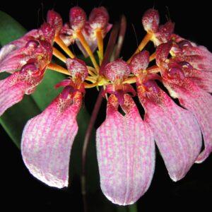 Cirrhopetalum eberhardtii