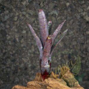 Neoregelia ampullacea purpurea