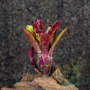 Neoregelia gezpacho x lilliputeana
