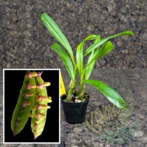 Bulbophyllum kewense