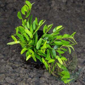 Ficus punctata
